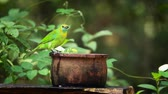 indian subcontinent : Jerdons Leafbird bathing and grooming in Minneriya national park, Sri Lanka - specie Chloropsis jerdoni family of Irenidae Stock Footage