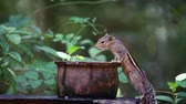 indian subcontinent : Cute Indian palm squirrel in Sri Lanka - Specie Funambulus palmarum family of Sciuridae Stock Footage