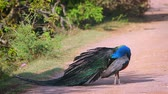 observação de aves : Indian peafowl male preening and grooming in Bundala National Park, Sri Lanka; specie Pavo cristatus family of Phasianidae Stock Footage