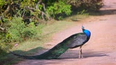 kanha national park : Indian peafowl male preening and grooming in Bundala National Park, Sri Lanka; specie Pavo cristatus family of Phasianidae Stock Footage