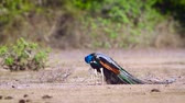 Индия : Indian peafowl male preening and grooming in Bundala National Park, Sri Lanka; specie Pavo cristatus family of Phasianidae Стоковые видеозаписи