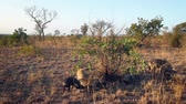 juvenil : Spotted hyaena family group scavenging in Kruger National park, South Africa; Specie Crocuta crocuta family of Hyaenidae