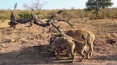 hyaena : Spotted hyaena family group scavenging in Kruger National park, South Africa; Specie Crocuta crocuta family of Hyaenidae