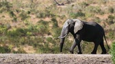 Крюгер : African bush elephant walking in Kruger National Park, South Africa; Specie Loxodonta africana family of Elephantidae