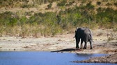 africký : African bush elephant drinking on lake side in Kruger National Park, South Africa; Specie Loxodonta africana family of Elephantidae
