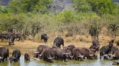 riverbank : Large group of African buffalo bathing in Kruger National Park, South Africa; Specie Syncerus caffer family of Bovidae