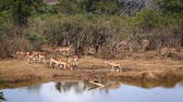 group of animal : Common Impala group in waterhole in Kruger National Park, South Africa; Specie Aepyceros melampus family of Bovidae