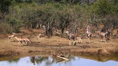 Common Impala and Greater Kudu in Kruger National Park, South Africa; Specie Aepyceros melampus and Tragelaphus strepsiceros family of Bovidae