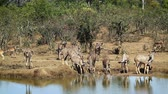 Крюгер : Greater Kruger National Park, South Africa; Specie Tragelaphus strepsiceros family of Bovidae