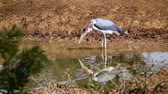 Marabou stork drinking in waterhole in Kruger National Park, South Africa; Specie Leptoptilos crumenifera family of Ciconiidae