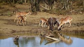 Nyala and impala drinking water in Kruger National park, South Africa; Specie Tragelaphus angasii and Aepyceros melampus family of Bovidae