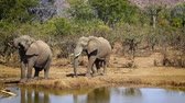 Three African bush elephants drinking water in Kruger National park, South Africa; Specie Loxodonta africana family of Elephantidae 動画素材