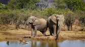 クルーガー : Three African bush elephants drinking water in Kruger National park, South Africa; Specie Loxodonta africana family of Elephantidae 動画素材