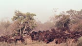 Крюгер : African buffalo herd in savannah in Kruger National Park, South Africa; Specie Syncerus caffer family of Bovidae