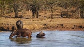 Three African buffalo taking bath in Kruger National park, South Africa; Specie Syncerus caffer family of Bovidae