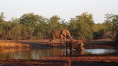 Крюгер : Three African bush elephant bathing in waterhole in Kruger National Park, South Africa; Specie Loxodonta africana family of Elephantidae