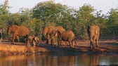 Крюгер : African bush elephant family in waterfall Kruger National park, South Africa; Specie Loxodonta africana family of Elephantidae Стоковые видеозаписи