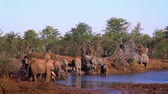 Крюгер : African bush elephant herd drinking in Kruger National Park, South Africa; Specie Loxodonta africana family of Elephantidae