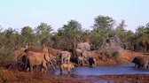 çalı : African bush elephant herd drinking in Kruger National Park, South Africa; Specie Loxodonta africana family of Elephantidae