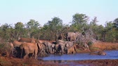 grup : African bush elephant herd drinking in Kruger National Park, South Africa; Specie Loxodonta africana family of Elephantidae