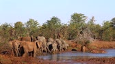 African bush elephant herd in waterhole in Kruger National Park, South Africa; Specie Loxodonta africana family of Elephantidae