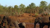 クルーガー : African bush elephant herd in waterhole in Kruger National Park, South Africa; Specie Loxodonta africana family of Elephantidae