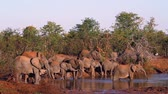 Крюгер : African bush elephant herd in waterhole in Kruger National Park, South Africa; Specie Loxodonta africana family of Elephantidae