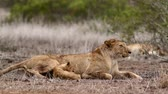African lioness with tiny cub in Kruger National Park, South Africa; Specie Panthera leo family of Felidae 動画素材