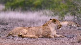 Крюгер : African lioness with tiny cub in Kruger National Park, South Africa; Specie Panthera leo family of Felidae Стоковые видеозаписи