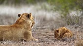 African lioness with cute cub in Kruger National Park, South Africa; Specie Panthera leo family of Felidae