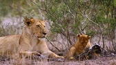 Лев : African lioness with cute cub in Kruger National Park, South Africa; Specie Panthera leo family of Felidae