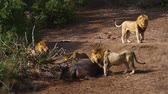 Лев : Four African male lion with hippo carcass in Kruger National Park, South Africa; Specie Panthera leo family of Felidae Стоковые видеозаписи