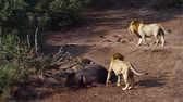 殺人 : Three African lion male wiht hippo carcass in Kruger National park, South Africa; Specie Panthera leo family of Felidae