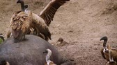White backed Vulture scavenging at hippo carcass in Kruger National Park, South Africa; Specie Gyps africanus family of Accipitridae