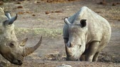 находящихся под угрозой исчезновения : Southern white rhinoceros baby in Kruger National park, South Africa; Specie Ceratotherium simum family simplex of Rhinocerotidae