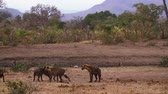 hyaena : Small group of Spotted hyaena playing in savannah scenery in Kruger National park, South Africa; Specie Crocuta crocuta family of Hyaenidae Stock Footage