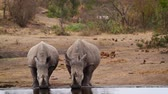önden görünüş : Two Southern white rhinoceros drinking water in Kruger National park, South Africa; Specie Ceratotherium simum family simplex of Rhinocerotidae Stok Video