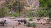 находящихся под угрозой исчезновения : Two Southern white rhinoceros walking in bushveld in Kruger National Park, South Africa; Specie Ceratotherium simum family simplex of Rhinocerotidae