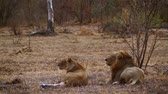Крюгер : African lion couple lying down in Kruger National Park, South Africa; Specie Panthera leo family of Felidae Стоковые видеозаписи