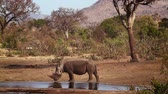 находящихся под угрозой исчезновения : Southern white rhinoceros drinking water in Kruger National park, South Africa; Specie Ceratotherium simum family simplex of Rhinocerotidae