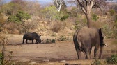 находящихся под угрозой исчезновения : Southern white rhinoceros and african bush elephant in same waterhole in Kruger National Park, South Africa; Specie Ceratotherium simum family simplex of Rhinocerotidae