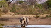 находящихся под угрозой исчезновения : Two Southern white rhinoceros drinking water in Kruger National park, South Africa; Specie Ceratotherium simum family simplex of Rhinocerotidae Стоковые видеозаписи