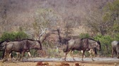 wildebeest : Small group of Blue wildebeest in waterhole in Kruger National park, South Africa; Specie Connochaetes taurinus family of Bovidae Stock Footage