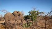 クルーガー : African bush elephant eating in Kruger National park, South Africa; Specie Loxodonta africana family of Elephantidae 動画素材