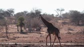 camelopardalis : Giraffe drinking in waterhole in Kruger National Park, South Africa; Giraffa Specie camelopardalis family of Giraffidae