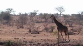 game reserve : Giraffe walking in dry savannah in Kruger National Park, South Africa; Giraffa Specie camelopardalis family of Giraffidae Stock Footage