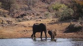 young elephants : African bush elephant group bathing in Kruger National Park, South Africa; Specie Loxodonta africana family of Elephantidae Stock Footage