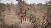 giraffe : Two Giraffes parade necking in Kruger National Park, South Africa; Giraffa Specie camelopardalis family of Giraffidae
