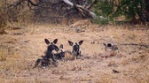 アフリカの : Small group of young African wild dog in Kruger National park, South Africa; Specie Lycaon pictus family of Canidae