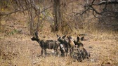 Small group of young African wild dog in Kruger National park, South Africa; Specie Lycaon pictus family of Canidae